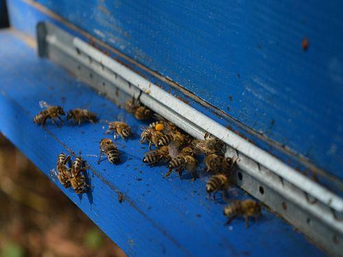 Pčele na dasci
